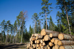 Timber stack of whitewood Stock Photography