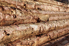 Timber stacked in the forest. Fresh timber stacked in the forest Royalty Free Stock Photo