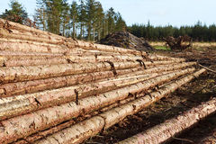 Timber stacked in the forest. Fresh timber stacked in the forest Stock Photo