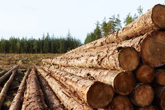 Timber stacked in the forest. Fresh timber stacked in the forest in front of tree stumps Stock Images