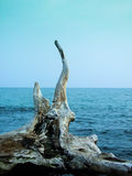 Timber still on the beach. Dead tree on sea in the blue sky Royalty Free Stock Images