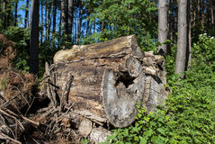 Timber. And trees - forest - close-up Royalty Free Stock Images