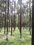 Timber trees. Timber tree plantation in Karnataka, South India Stock Photo