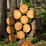Timber trunks Stock Images