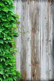 Timber wall & wild vine leaves Royalty Free Stock Photo