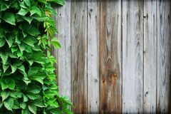 Timber wall and wild vine leaves Stock Images