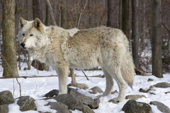 Free Timber Wolf Royalty Free Stock Images - 10335059