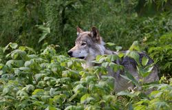 Timber wolf Royalty Free Stock Photo