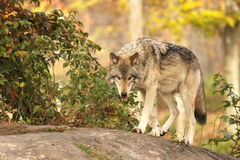 Timber wolf Royalty Free Stock Photos