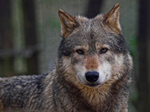 Timber Wolf. Captive canadian timberwolf Royalty Free Stock Photography
