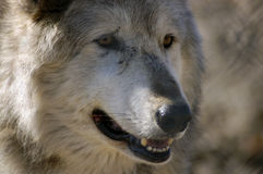 Timber Wolf. Portrait of a timber wolf Stock Photos