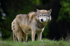 Timber Wolf. On the horizon Royalty Free Stock Photos