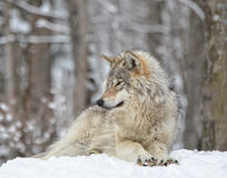 Timber Wolf Royalty Free Stock Image