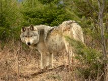 Timber Wolf. Male Timber Wolf in forest near Golden, British Columbia, Canada Stock Photo