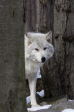 Timber Wolf. (Canis lupus lycaon) looking around trees Royalty Free Stock Images
