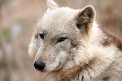 Timber Wolf. Closeup of a Timber Wolf against a blurred background Royalty Free Stock Photography