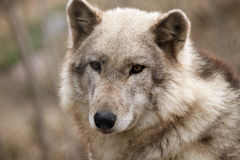 Timber Wolf. Closeup of a Timber Wolf against a blurred background Royalty Free Stock Image