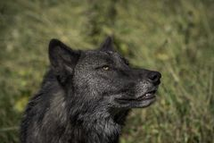 Profile of a Black Wolf royalty free stock images
