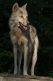 Timber Wolf. Also known as a Grey Wolf or Gray Wolf. Image taken in the Summer to show his lighter coat Royalty Free Stock Images