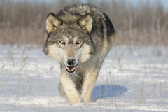 Timber wolf. A big timber wolf walking dangerously close to photographer