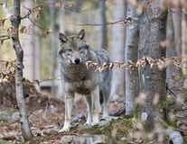 Timber Wolf (Canis lupus) Royalty Free Stock Photography