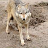 Timber Wolf (Canis lupus) Stock Photos