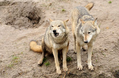 Timber Wolf (Canis lupus) Royalty Free Stock Photo