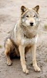 Timber Wolf (Canis lupus). In a natural habitat Royalty Free Stock Photography