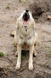 Timber Wolf (Canis lupus). In a natural habitat Stock Photos