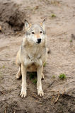 Timber Wolf (Canis lupus). In a natural habitat Stock Image