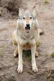 Timber Wolf (Canis lupus). In a natural habitat Stock Photography