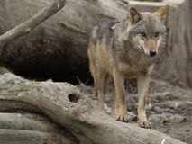 timber wolf (canis lupus) Stock Images