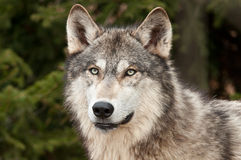 Timber Wolf (Canis Lupus) Against Green Royalty Free Stock Image