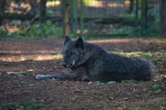 Timber wolf Canis lupus in autumn. At the german park Edersee Royalty Free Stock Image