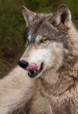 Timber Wolf (Canis Lupus) Licks Chops Royalty Free Stock Photography