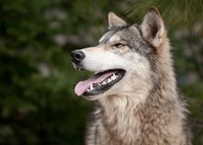 Timber Wolf (Canis lupus) Looking Up Royalty Free Stock Images