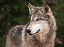Timber Wolf (Canis lupus) Looks Left Royalty Free Stock Image