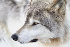 A Timber Wolf Canis lupus portrait closeup in winter snow. Timber Wolf Canis lupus portrait closeup in winter snow Stock Image