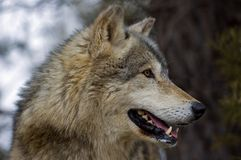 Timber Wolf (Canis lupus) Profile Stock Photography