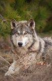 Timber Wolf (Canis lupus) Relaxes Under Pine. Captive animal Royalty Free Stock Photo