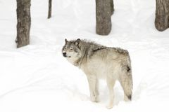 A Timber wolf Canis lupus standing in the winter snow Stock Photography