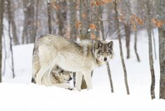 A Timber wolf Canis lupus standing in the winter snow Stock Images