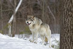 A Timber wolf Canis lupus standing in the winter snow Royalty Free Stock Image