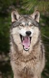 Timber Wolf (Canis Lupus) Yawns Royalty Free Stock Image