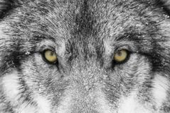A Timber Wolf Canis lupus with yellow eyes closeup in winter snow