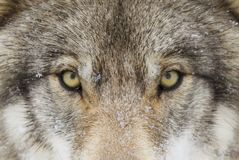 A Timber Wolf Canis lupus with yellow eyes closeup in winter snow. A lone Timber wolf or grey wolf (Canis lupus) with yellow eyes closeup in winter Stock Image