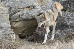 Timber wolf carrying pup in her mouth. Timber wolf bringing pup to den Stock Photos