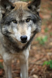 Timber wolf close-up. Healthy timber wolf staring from the woods in a close-up Royalty Free Stock Images
