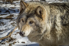 Timber Wolf. A close up shot of a Canadian Timber Wolf against a snowy background in the early spring Stock Photography