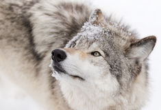 Timber Wolf close-up in winter snow Royalty Free Stock Images